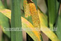 Wheat Diseases