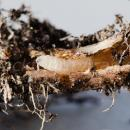 Cabbage root fly in oilseed rape root