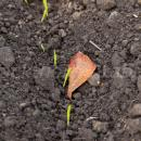 Winter barley cv Tower emerging in late October with a fallen leaf