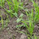 Canary seed crop with broad leaf weeds