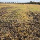Volunteer cereals and blackgrass dying after application of glyphosate in autumn