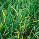 BYDV symptoms in barley crop