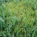 BYDV symptoms in wheat crop