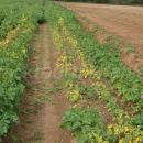PCN damage in Maris Peer salad potatoes