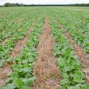 Oilseed rape crop in autumn showing rows clearly, Claydon drilled