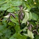 potato foliar blight