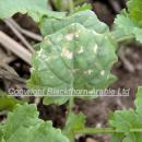 Downy mildew on rape crop in autumn