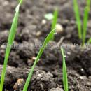 Winter wheat at emergence GS11