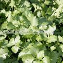 Coriander ready for harvest. This is a very popular  herb in asian cuisine and the area grown in the
