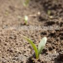 Sugar beet at cotyledons about 7 days after emergence