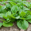 Spinach crop in rows