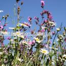 Red campion and corn chamomile -dog daisy in a field margin in cambridgeshire