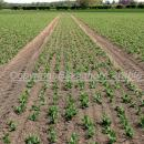 Pea crop shortly after emergence