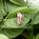 Silver Y moth adult in potato crop