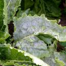Powdery mildew in sugar beet crop