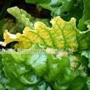 Virus yellows in sugar beet