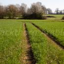 wheat crop in April around GS 31 showing tramlines