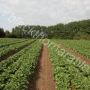 Field of salad potatoes about to close over the wheelings