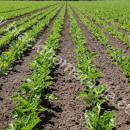 Sugar beet crop, good clean crop halfway across the rows