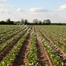 Sugar beet rows about 10 days before row closure