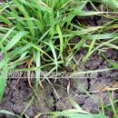 Italian ryegrass in winter wheat crop