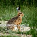 Brown hare in field margin