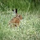 Brown hare in field margin grass