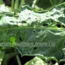 Silver Y moth damage to sugar beet leaf