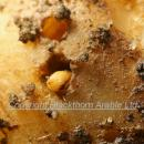 Wireworm in potato tuber