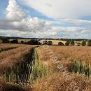 Swathed crop in Scotland