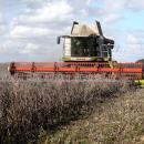 Harvesting winter beans