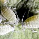 Mealy cabbage aphids -macro shot