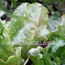 Beet rust in sugar beet crop