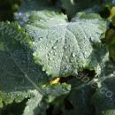 Leaf of oilseed rape plant with water droplets