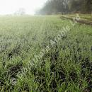Dew and mist on a wheat crop in spring