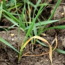 Wheat bulb fly showing as a deadheart in wheat crop