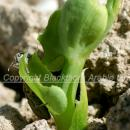 Pea plant being attacked by pea and bean weevil