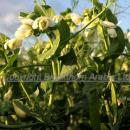 Pea crop with first pods and flowers against a blue sky