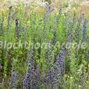 Bugloss in a field margin in Norfolk