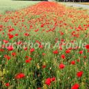 Poppies in a field margin in Norfolk