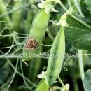Disease in peas Early signs of botrytis