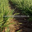 Winter wheat at GS-31 first node stage