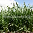 Wheat crop at GS 32 view of plants from the ground