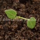 Common Mallow cotyledons
