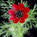 pheasants eye