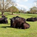 Cattle on grassland in late april