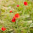 Poppies in a crop of winter barley in suffolk