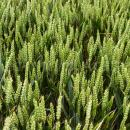 Crusoe wheat untreated with fungicide in July