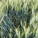 Skyfall wheat untreated with fungicide in July