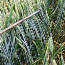 KWS Siskin wheat untreated with fungicide in July